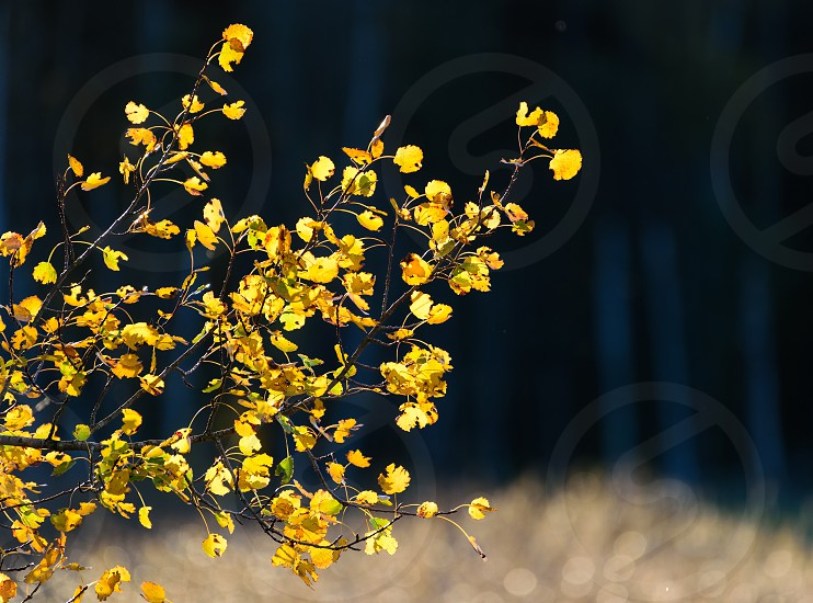 Autumn foliage in golden light at beginning of October 2016 in Espoo Finland. Colorful mostly yellow Aspen leaves at the sunset time by the Baltic Sea with the darker forest on the background.  photo