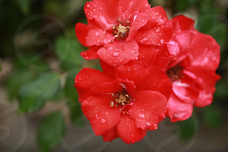red flowers with dew drops photo