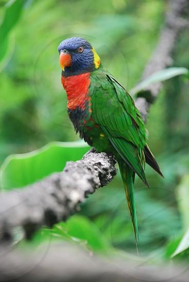 selective focus photography of rainbow lorikeet photo