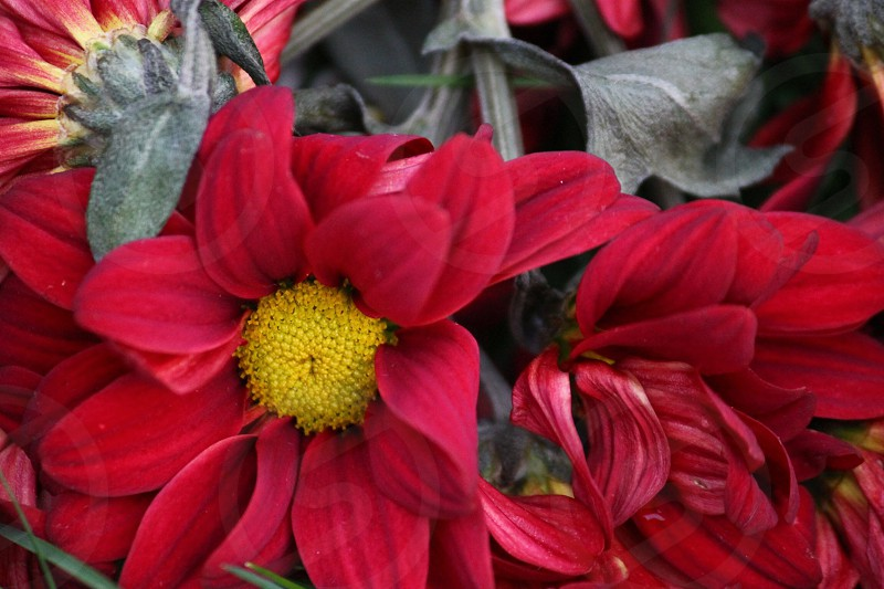 close-up photography of red petaled flowers photo
