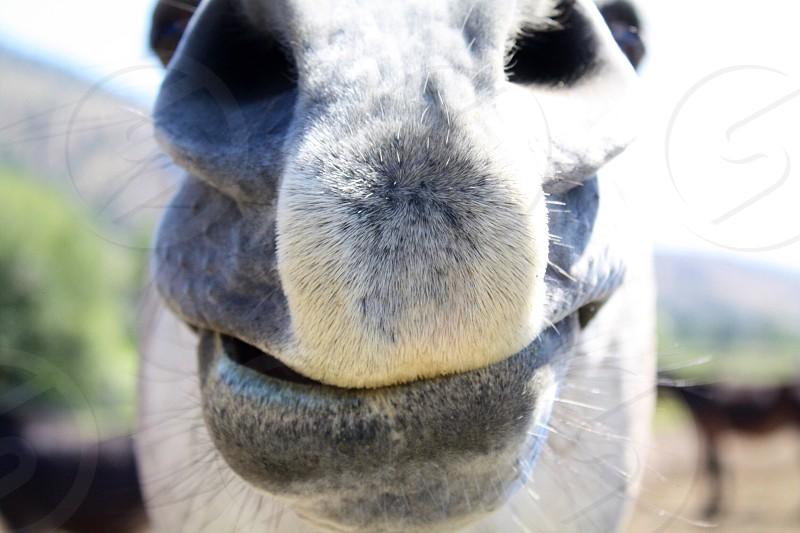grey horse muzzle photo