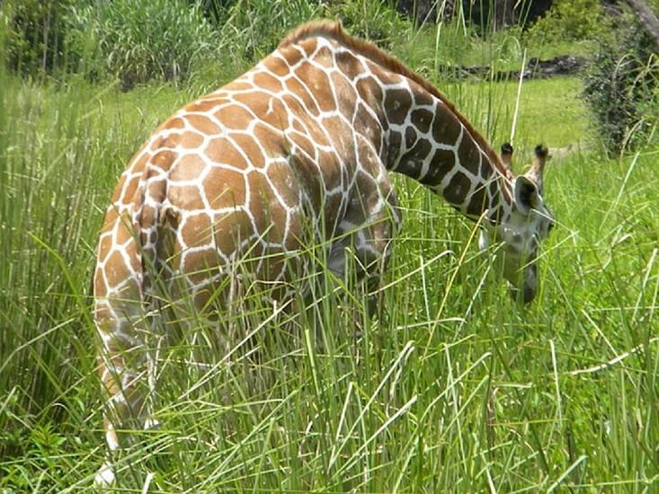 A giraffe grazing in the grass. photo