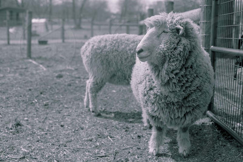 Lamb at farm. photo
