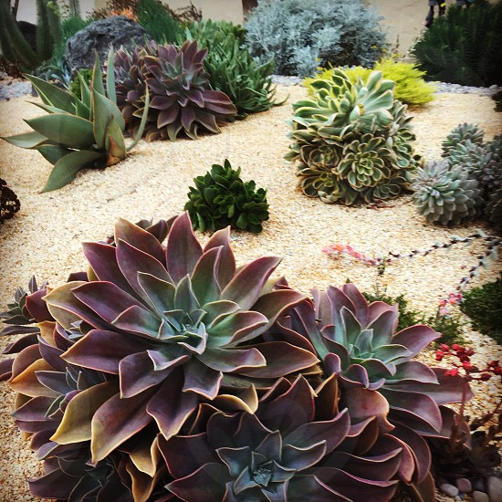 Succulent Oakland California yard drought resistant echeveria aeonium  photo