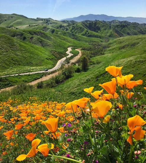 chino hill state park super bloom poppy field  photo