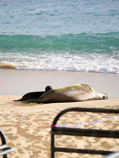 Mom and pup Hawaiian monks seal on the beach photo
