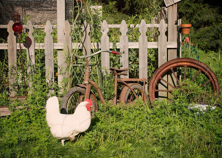 A chickens strutting her stuff by the garden photo