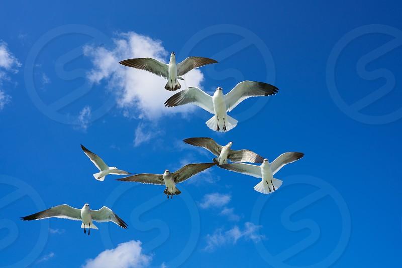 Seagulls sea gulls group flying on blue sky in Caribbean sea photo
