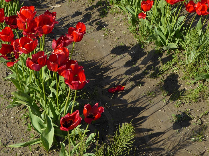 tulips red shadow mud rows flowers petals stems growth overhead photo