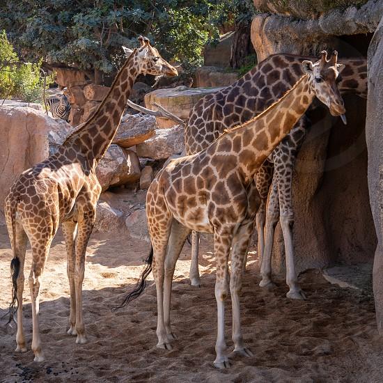 VALENCIA SPAIN - FEBRUARY 26 : African Giraffes at the Bioparc in Valencia Spain on February 26 2019 photo