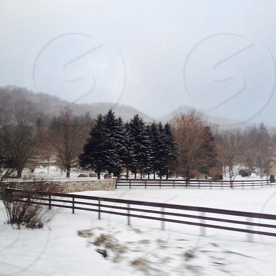 Snow pine trees photo