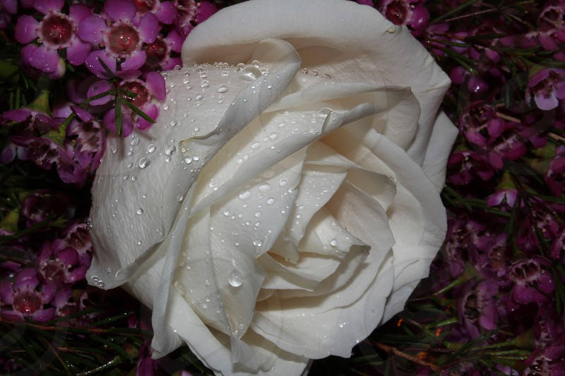 white rose with water droplets surrounded with purple and red petaled flower in closeup photography photo