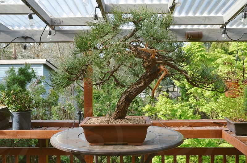 Garden life bonsai  photo