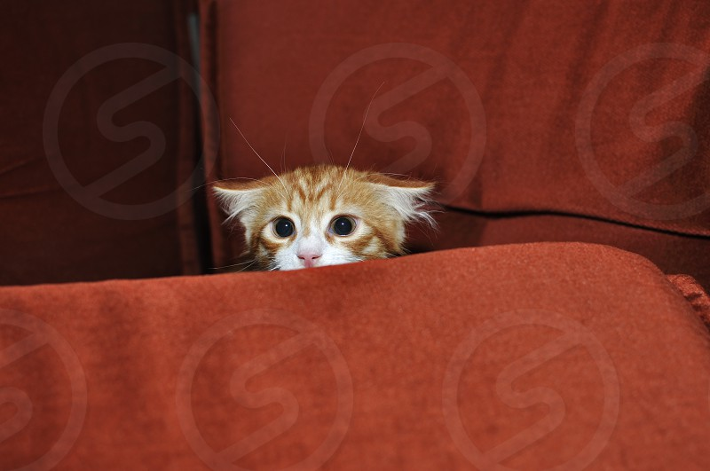 Ginger kitten frightened looks out for obstacles photo