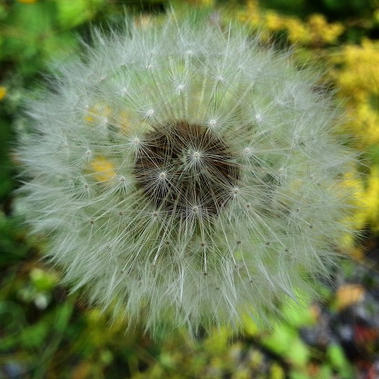 Pretty  dandelion  ready to go blowing in the wind. photo