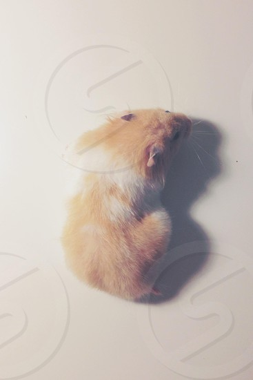 light brown and white hamster photo