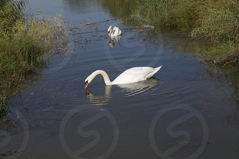 nice two white swans on the small river photo