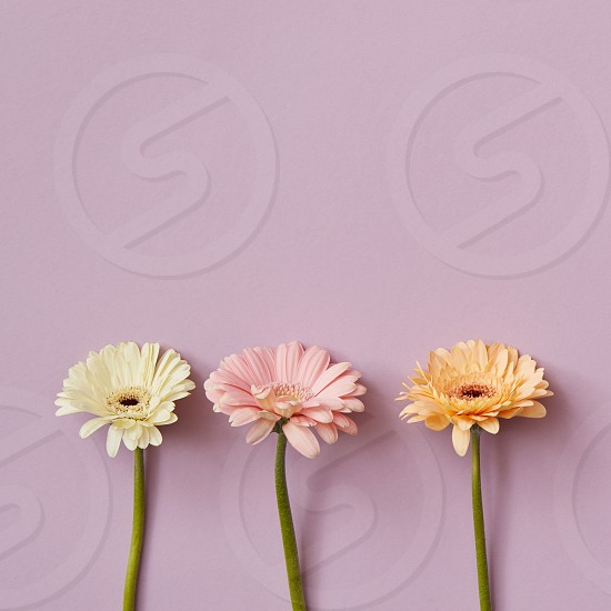 Composition from three gerberas on a pink paper background. Minimal spring concept. Flat lay. Postcard to Mother's Day or March 8 with copy space. Flat lay. photo