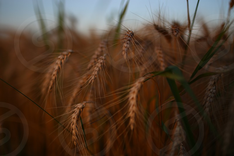 brown wheat grains in selective focus photography photo