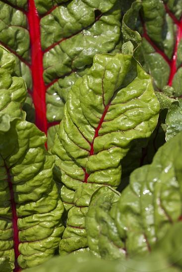 red swiss chard leaf close up photo