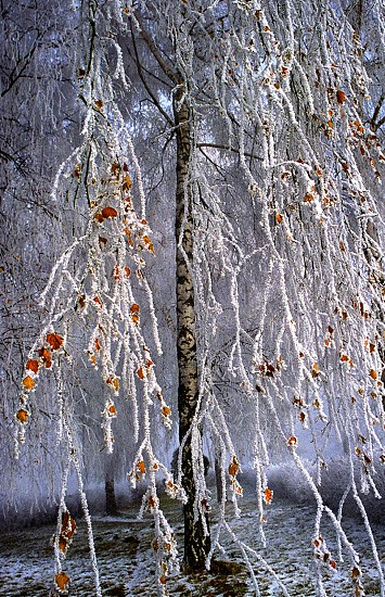white and red willow tree photo
