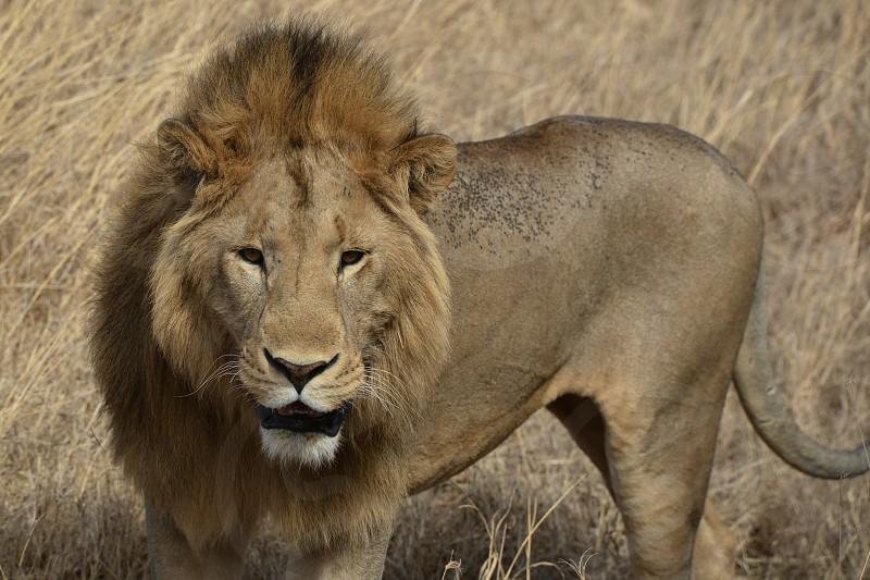 lion animal photo