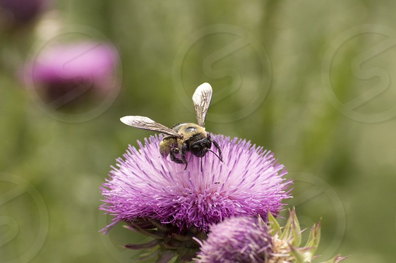 Closeup of a bumblebee pollenating a beautiful purple thistle flower. photo