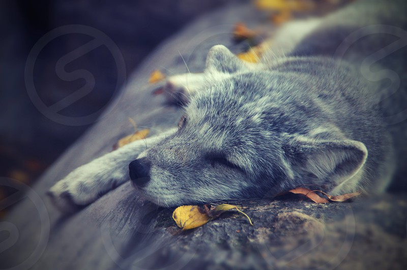 Arctic fox sleeping on yellow leafs autumn for wild animal. photo