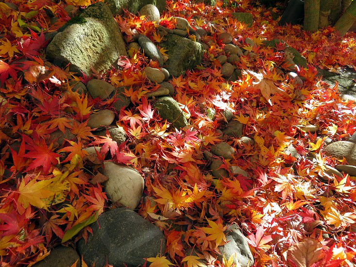 Japanese Maple leaves in the front yard Portland OR photo