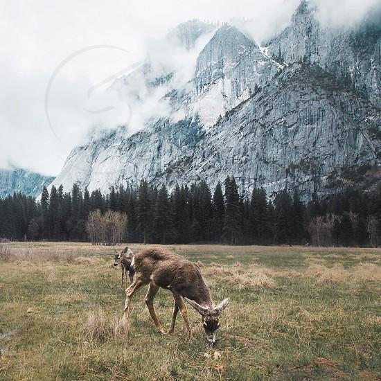 Yosemite national park granite deer wildlife evergreen northwest field dramatic mountains fog clouds photo