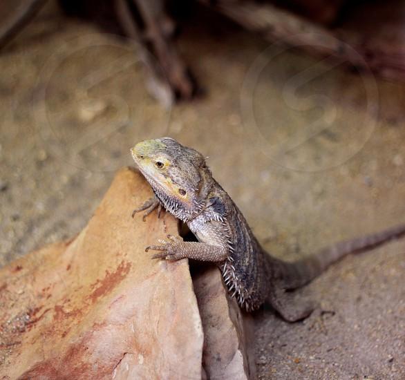 brown lizard photo