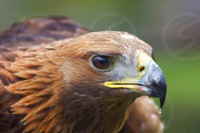 brown eagle photo
