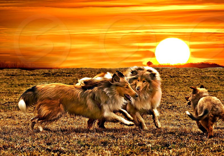 collie dogs during sunset photo