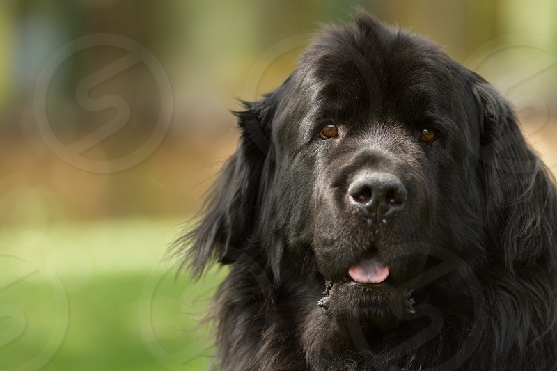 A black newfoundland dog looking at the camera photo