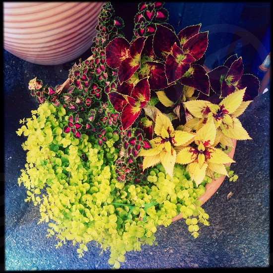 Colorful potted plant photo