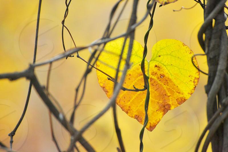 yellow heart leaf photo