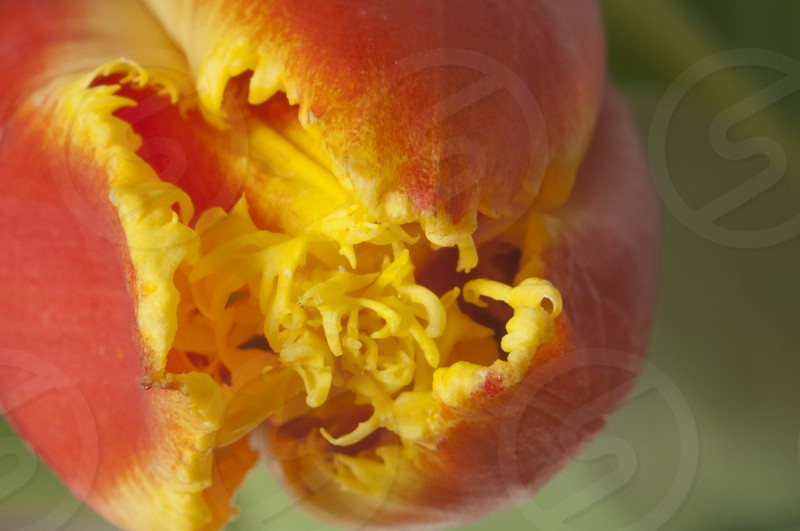 Red   yellow   Tulip   flower   nature   green   background   macro  photo