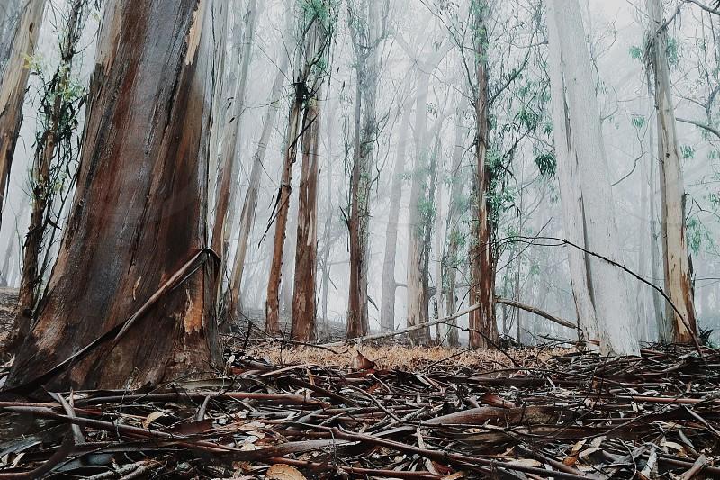 Fog filtering through a eucalyptus grove photo