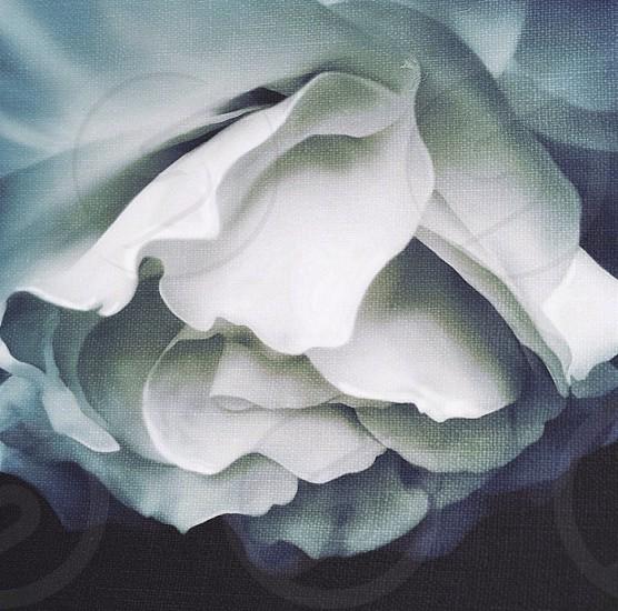 white flower petals art illustration photo