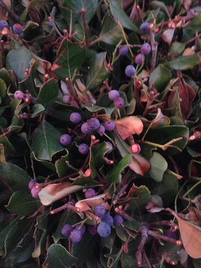 purple round fruit photo