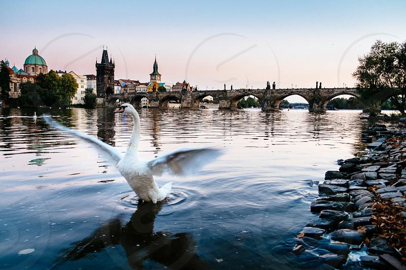 Prague Swan photo