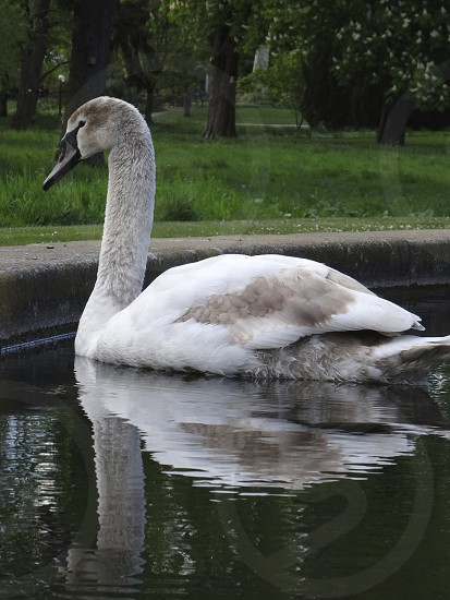 Swan Frankfurt Botanic Gardens photo