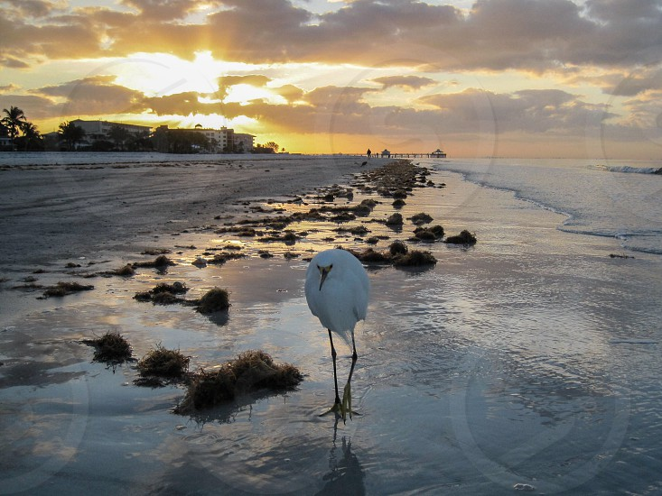 Fort Myer beach pier sunrise snowy egret bird Florida photo