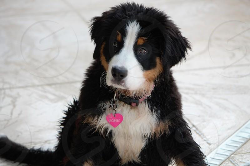 bernese mountain dog puppy photo