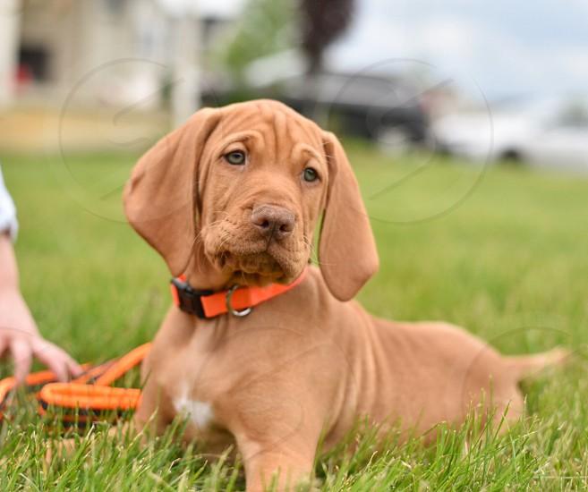 Puppy vizsla Hungarian hunting dog  photo