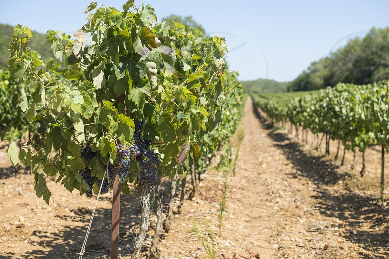 Red wine grapes. Vineyards photo