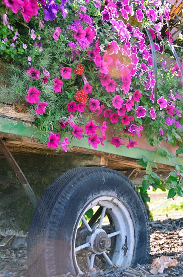 Petunias in truck planter garden flowers country living  photo