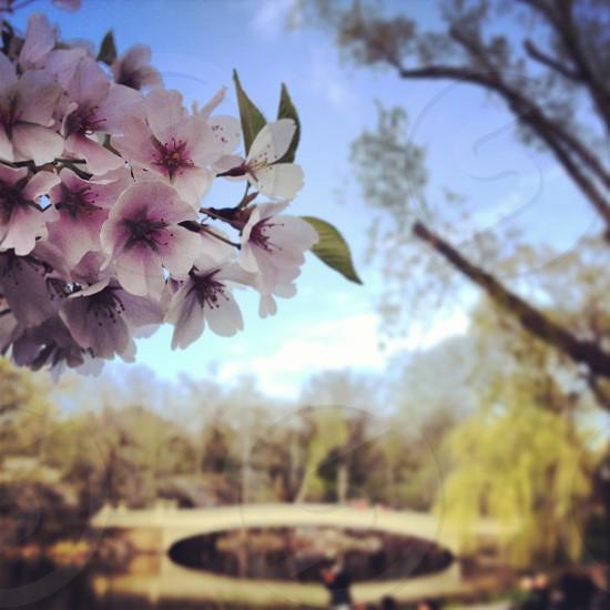Central Park bridge and pink flowers photo