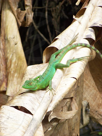 A Lizard in the jungles of Costa Rica photo
