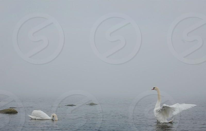 white swan nature photography photo